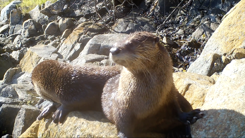 River Otters CritterCam